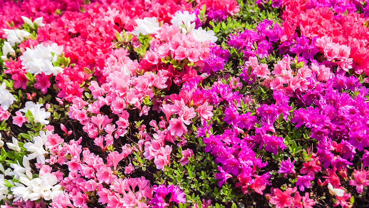 A quick guide on growing rhododendrons