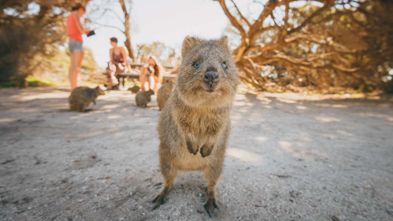 Is Rottnest Island home to the cutest animals on earth?