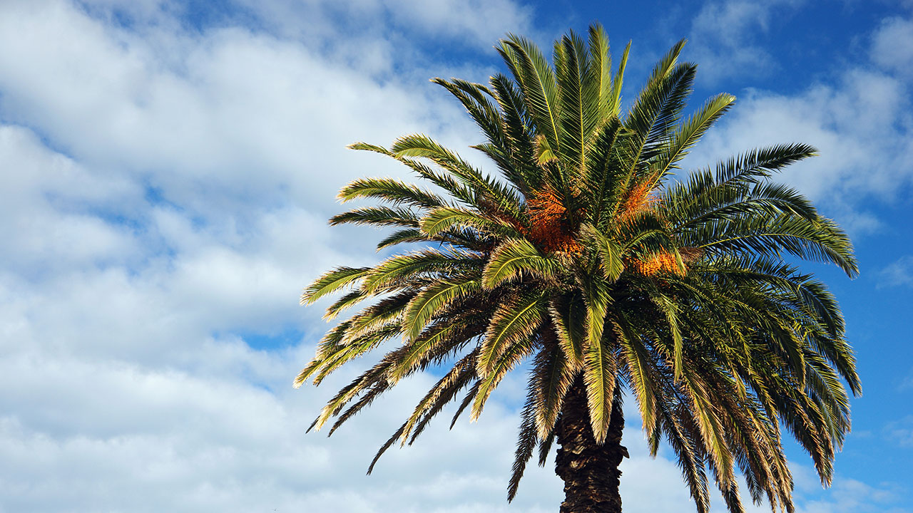 How to grow a date palm from date stones