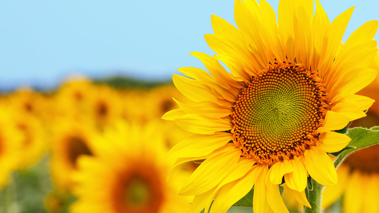 5 facts about sunflowers