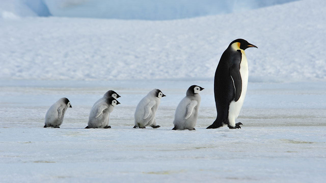 How do penguins stay warm in the freezing cold waters of Antarctica?