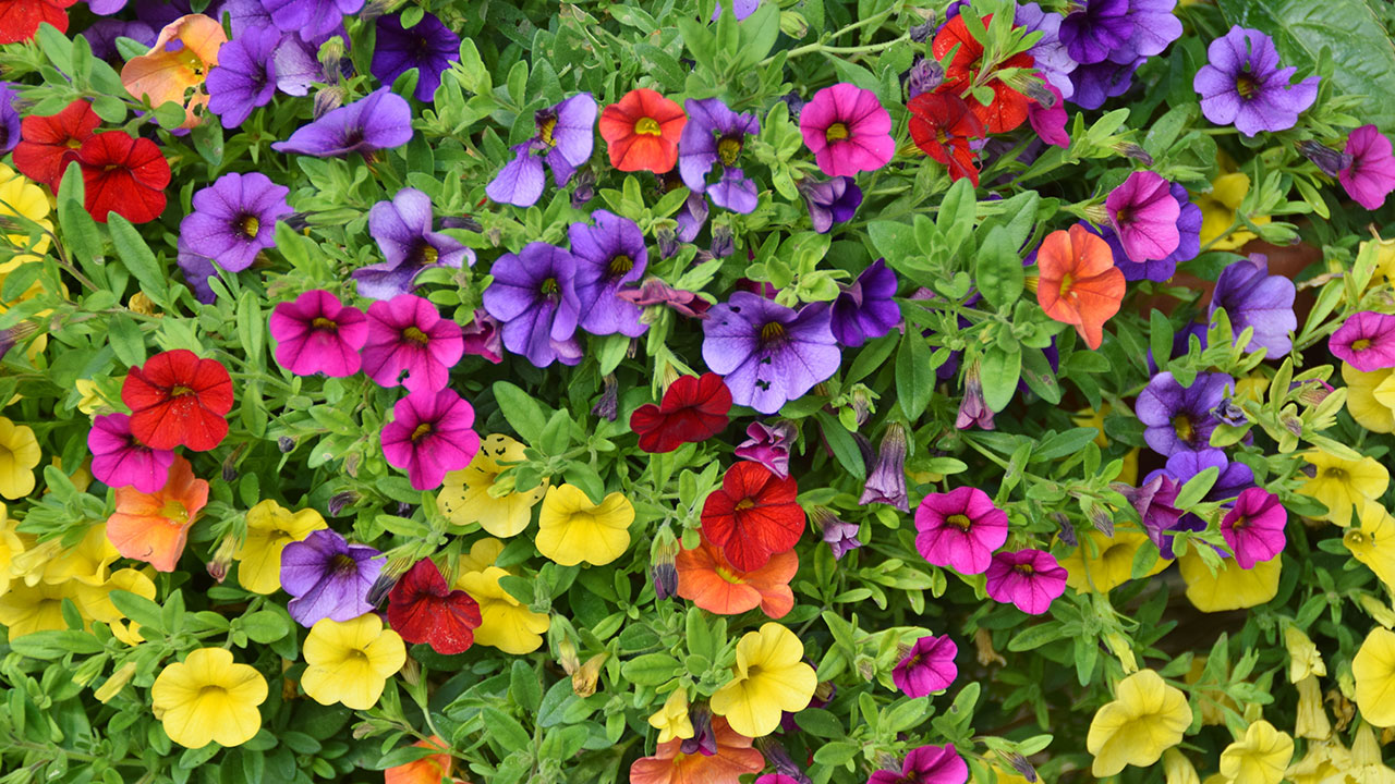 How To Grow Petunias In A Mini Greenhouse Oversixty