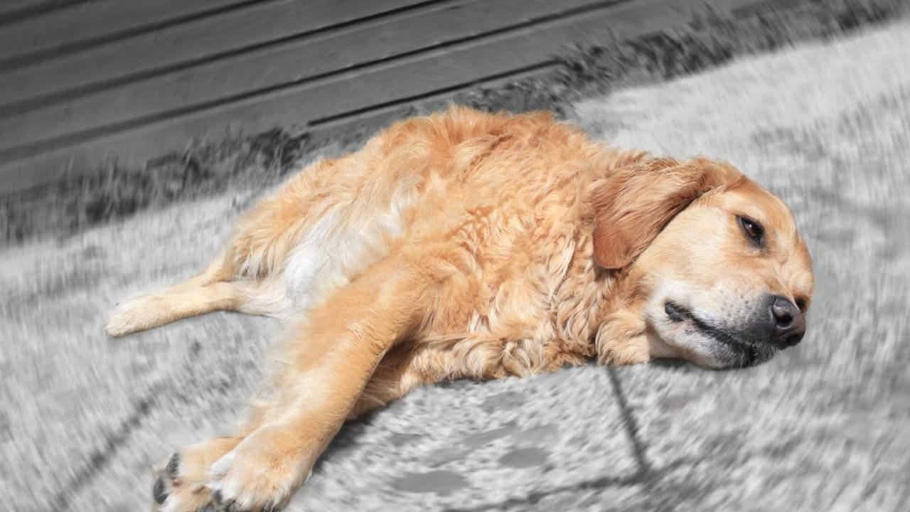 """""""Devastated"""": Aussie breeder's warning to dog owners after pup dies"""