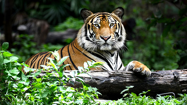 Good news: The number of tigers in India has increased