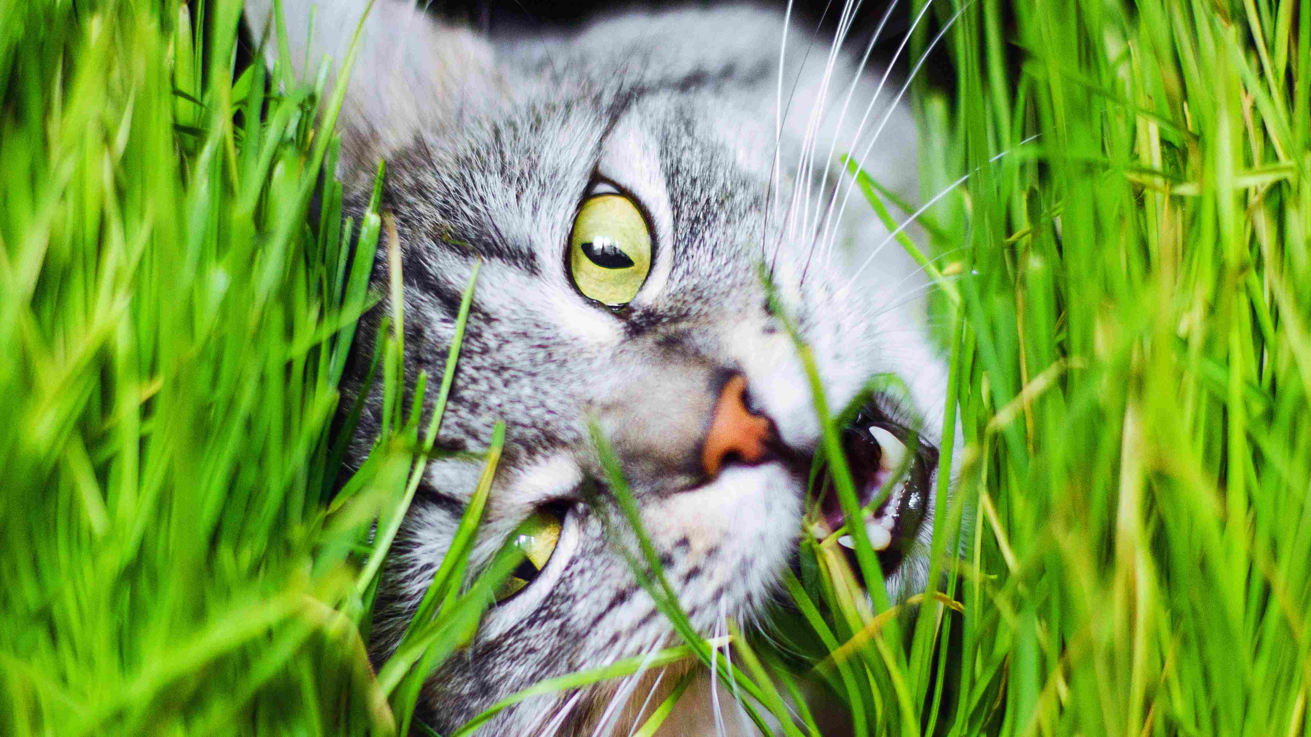 Mystery solved: Why do cats eat grass even when it makes them sick?