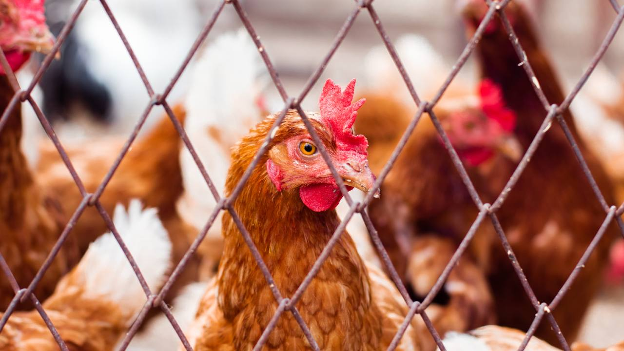 Woman dies after being pecked by a rooster