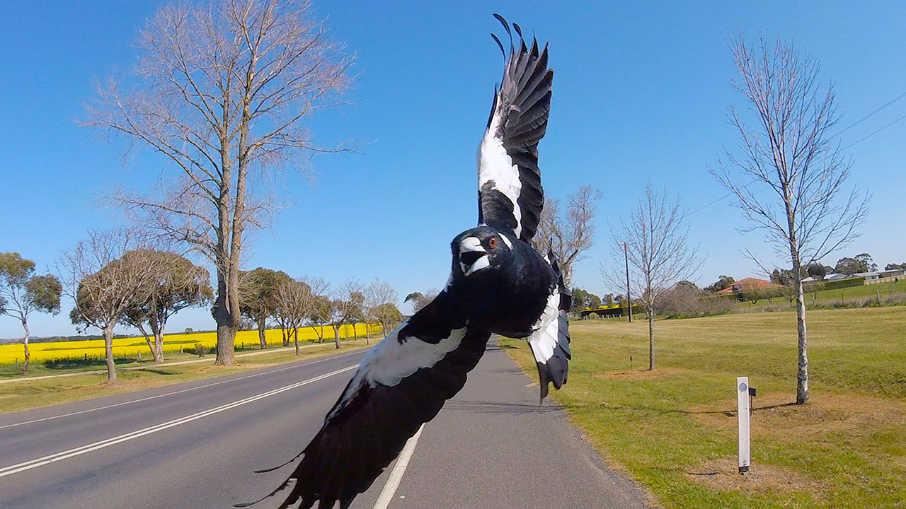 Magpie alert: Cyclist dies trying to avoid swooping bird