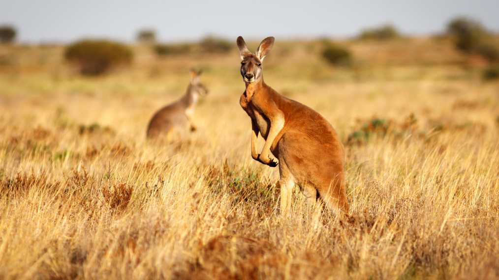 Riding on the kangaroo's back: Animal skin fashion, exports and ethical trade