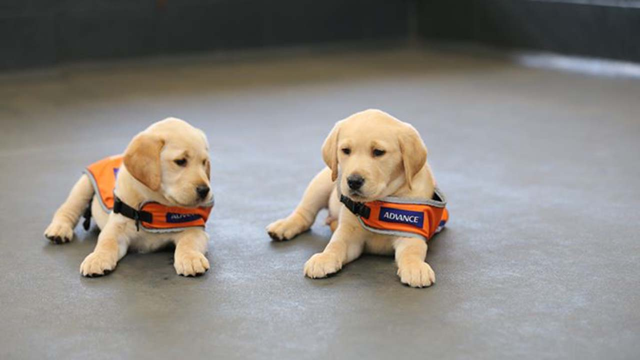 """""""We simply cannot continue"""": Guide Dogs Queensland beg for help"""