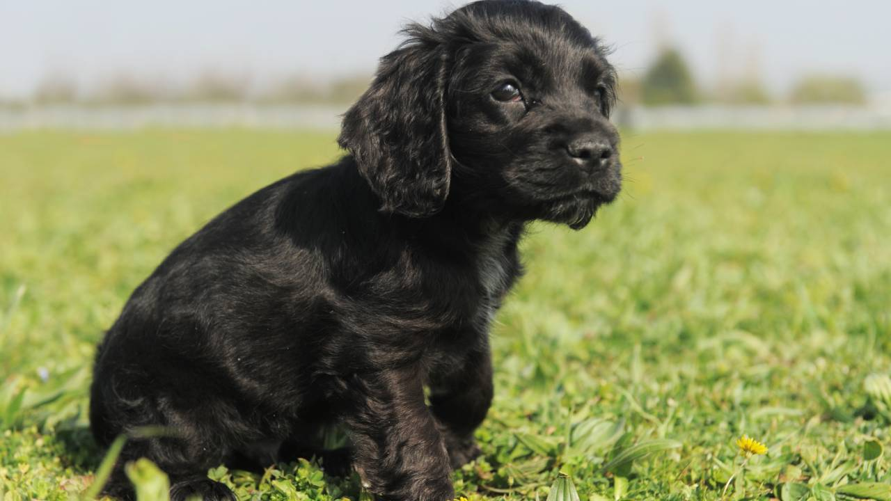 Thieves steal litter of seven cocker spaniels worth $4000 each