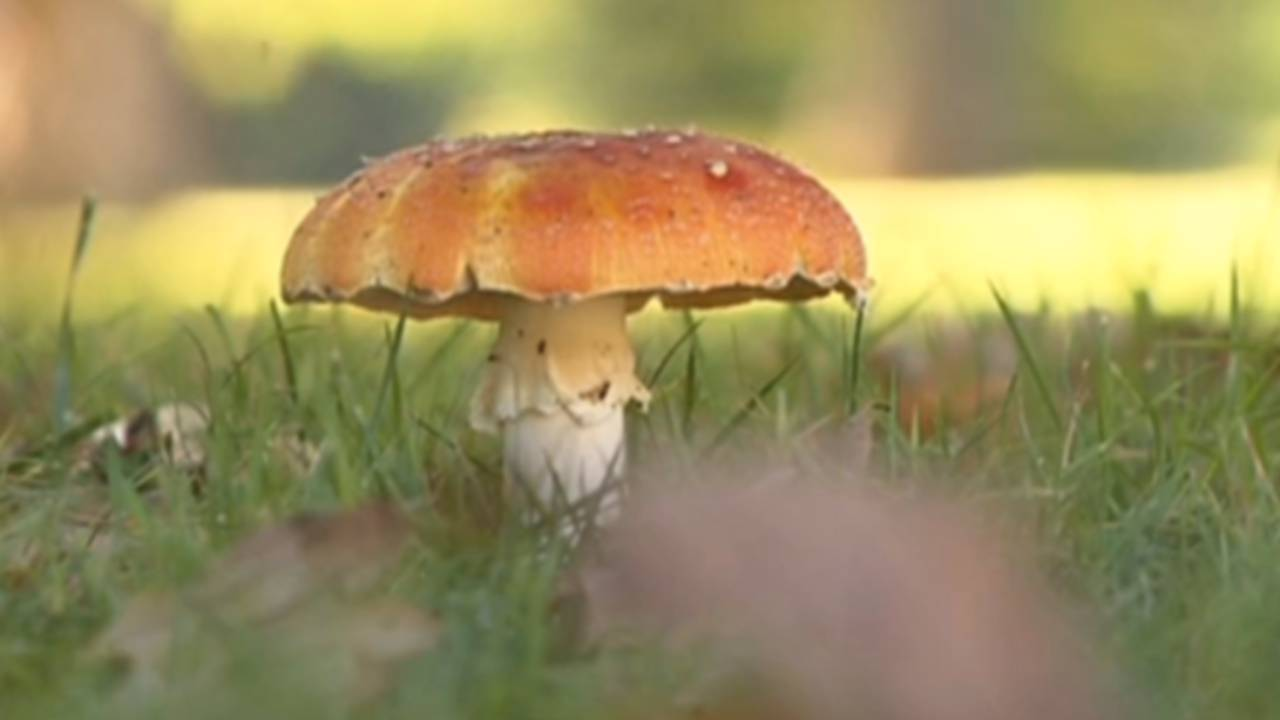 Death cap mushroom warning issued after record number of poisonings