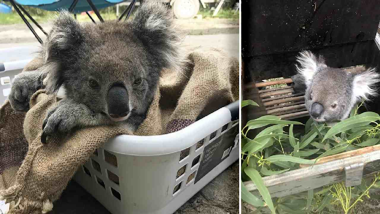 Adorable koalas rehomed after over-eating trees