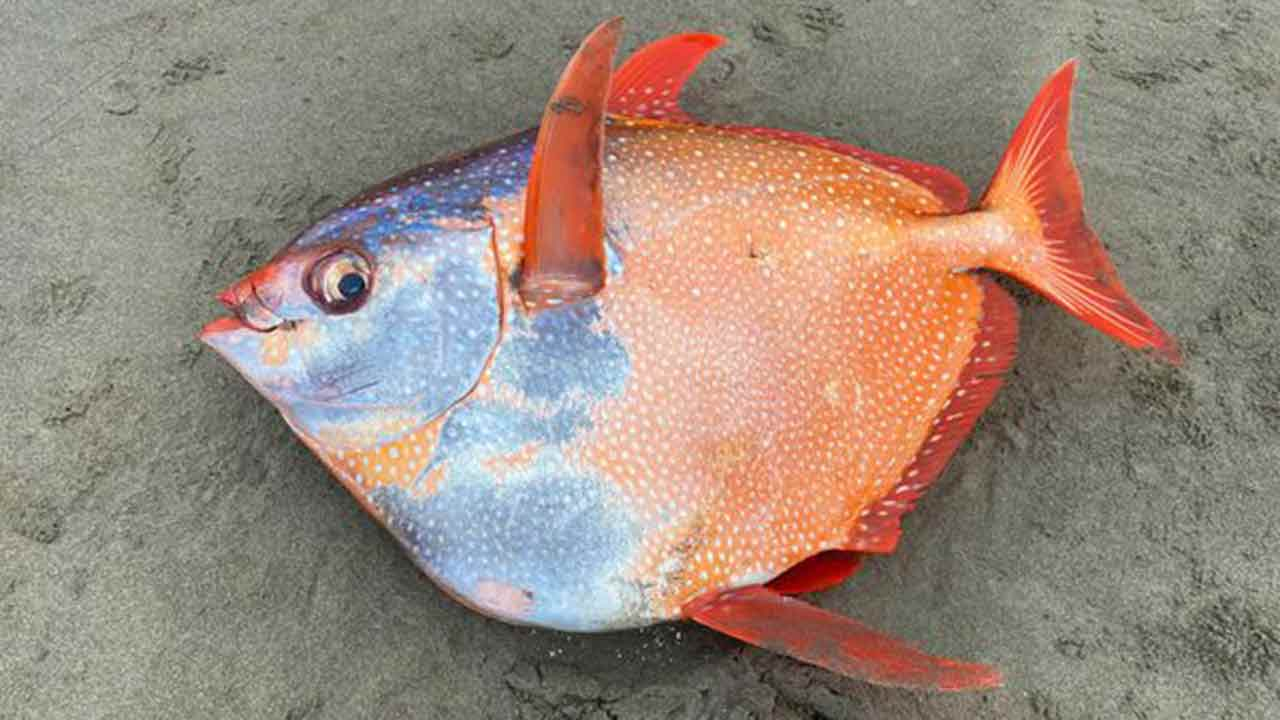 Surprise discovery of huge tropical fish on US beach