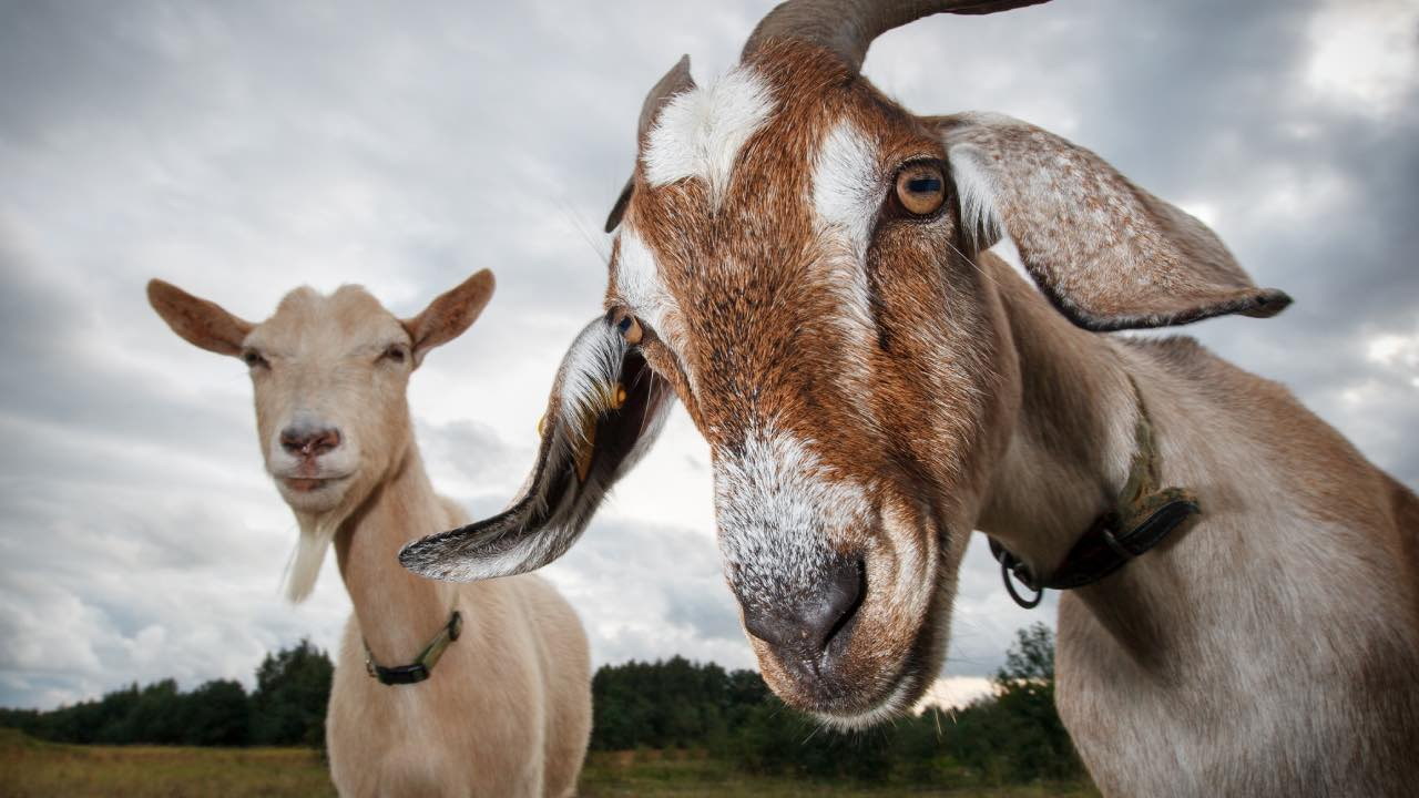 How a team of hungry GOATS is helping to fight fires