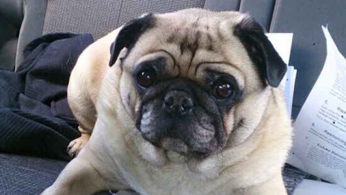 Firefighters saved a runaway pug from traffic